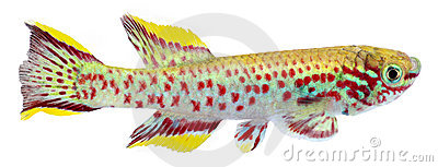 голубая сталь lyretail killifish