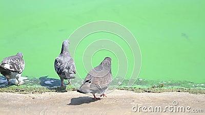 Голуби выпивают воду в грязном Green River видеоматериал