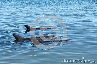 голубое трио дельфинов