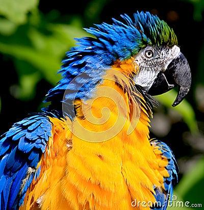голубой macaw золота