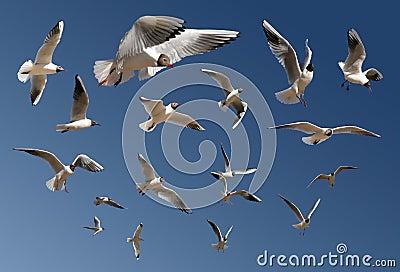 голубые изолированные чайки