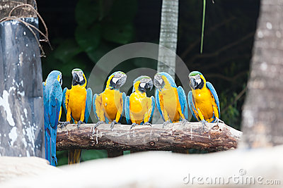 Голуб-и-желтая птица ары.