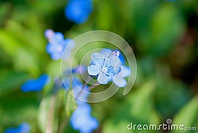 Голуб-eyed-Mary