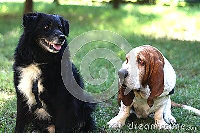 Гончая и друг Basset
