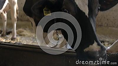 головка коровы видеоматериал