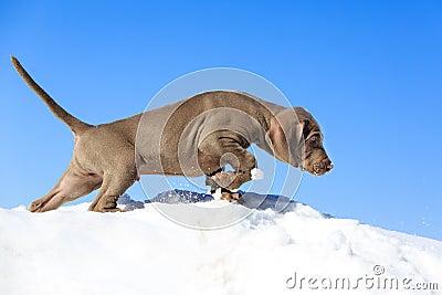Голубой щенок