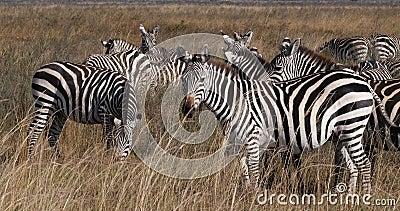 Грант`с Зебра, equus burchelli boehmi, Herd at Найробийский парк в Кении, Real Time сток-видео