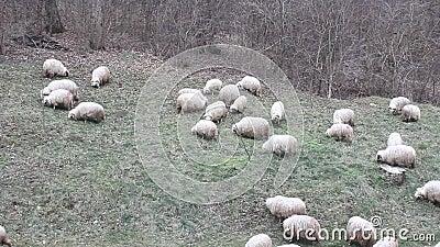 Группа в составе овцы, который нужно pasture