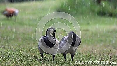 Гусыня щипцев 2 очищает его пер стоя на траве в дожде Leucopsis чёрной казарки сток-видео