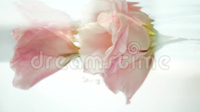 Две красивые розовые розы в чистой кристаллической воде Вода льется в поток, и воздушные пузыри падают на лепестки сток-видео