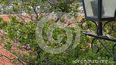 Дерево магнолии grandiflora Флора в Черногории сток-видео