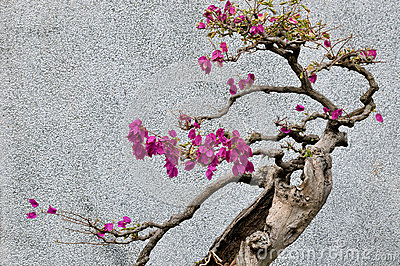 Дерево Bonsail бугинвилии