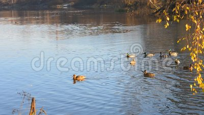 Дикая утка селезен очищает пер в воде древесина песни природы влюбленности grouse одичалая Наблюдать птицы видеоматериал