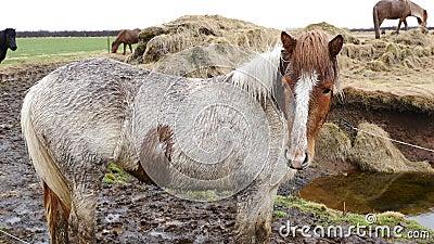 Дикие лошади в Исландии 4K закрывают вверх акции видеоматериалы