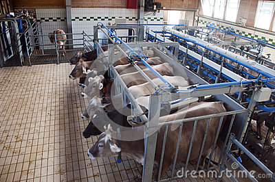 Доить коров