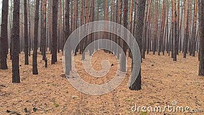 Дроне, летающие через красивый сосновый лес в покрытых тумане Фантазия транквилизаторная тайна ethereal coniferous видеоматериал
