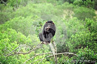 думать шимпанзеа