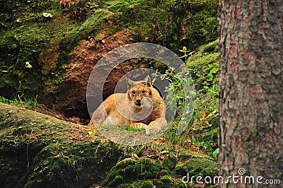 евроазиатский lynx