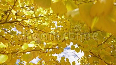 Желтое листво устоичиво акции видеоматериалы