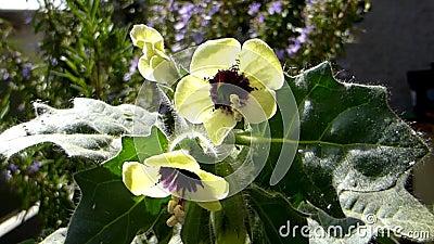Желтый генбан, лекарственный растение с цветком акции видеоматериалы