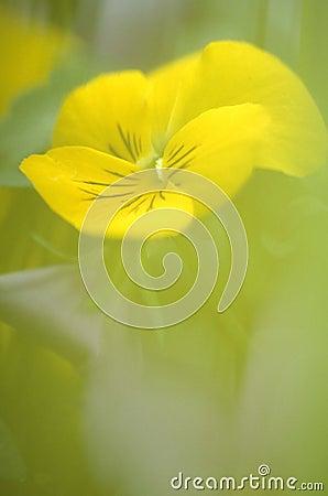 желтый цвет мака