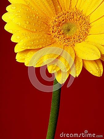 желтый цвет gerber