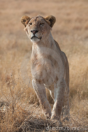 женский львев