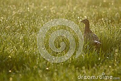 Женский фазан