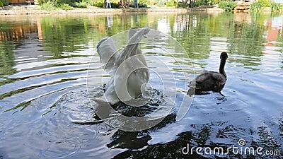 Жестокая обработка с дикими животными, птица с уравновешенными крылами плавает в озере, белый лебедь не может лететь, avians плав сток-видео
