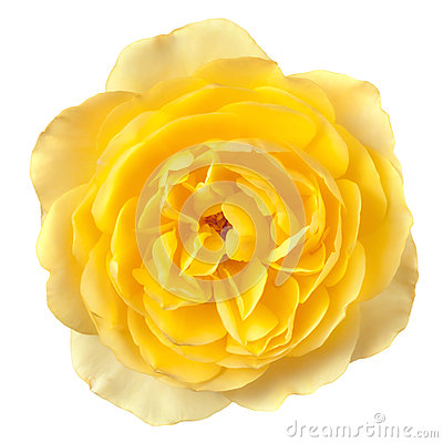 Желтое Роза изолировало