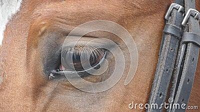 Закройте вверх по взгляду глаза красивой коричневой лошади Equine моргать глаза движение медленное видеоматериал