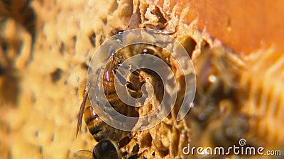 Закройте вверх пчел на их соте сток-видео
