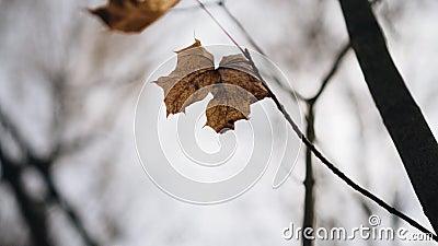 Закрытие сухого осеннего листьев Лист дрожит от ветра Прекрасная осень Сезон видеоматериал