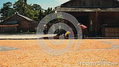 Засыхание креветки на земле в Cilacap, Ява, Индонезии акции видеоматериалы