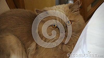 Затишье портрета красным пушистым неудовлетворенное котом сток-видео