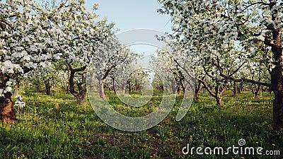 Зацветая яблоневый сад сток-видео