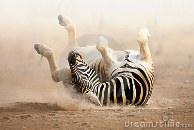 зебра завальцовки