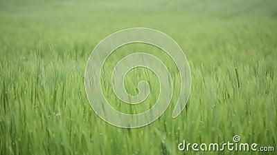 Зеленое пшеничное поле под драматическим облачным небом Молодой расти урожаев пшеницы на аграрном поле Земледелие и производство  акции видеоматериалы