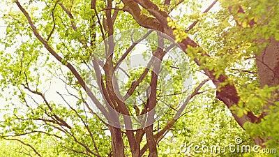 Зеленые деревья против голубого неба и светя солнца Концепция природы каникул перемещения Посмотрите вверх взгляд в предпосылке л акции видеоматериалы