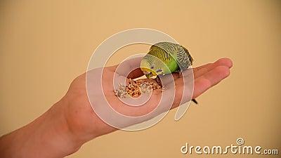Зеленый попугай на руке акции видеоматериалы