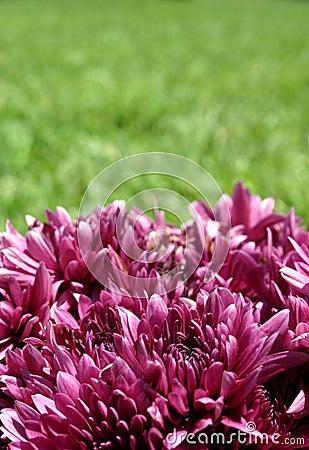 зеленый пурпур