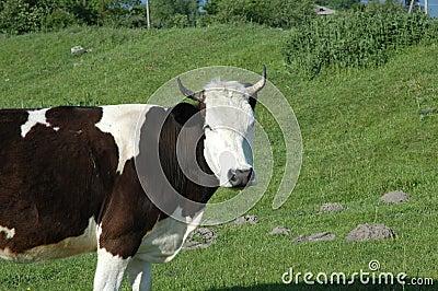зеленый цвет поля коровы