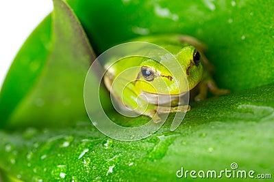 Зеленая древесная лягушка на лист