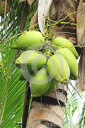 Зеленые кокосы