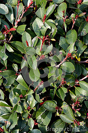 Зеленый куст michelia