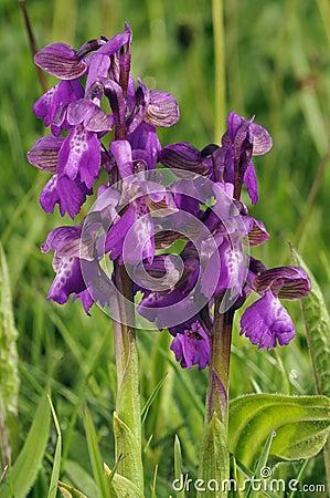 Зелен-подогнали орхидеи