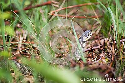 Змейка травы