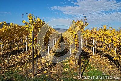 золотистые wineyards