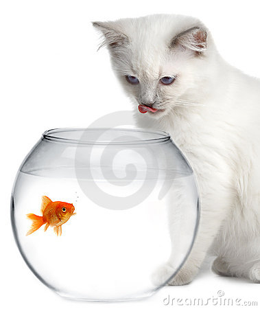 золото рыб кота