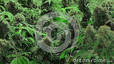 Зрелые цветя заводы марихуаны с толстыми бутонами акции видеоматериалы
